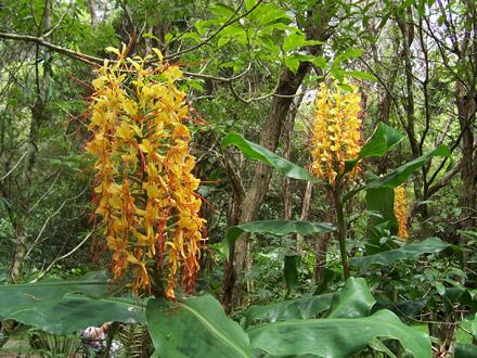 Hedychium gardnerianum (ZINGIBERACEAE) Kahili ginger