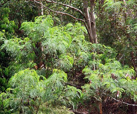Leucaena leucocephala (FABACEAE) Leucaena