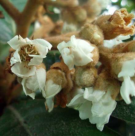 Eriobotrya japonica (MALACEAE) Loquat