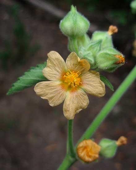 Sida cordifolia (MALVACEAE) Flannel weed