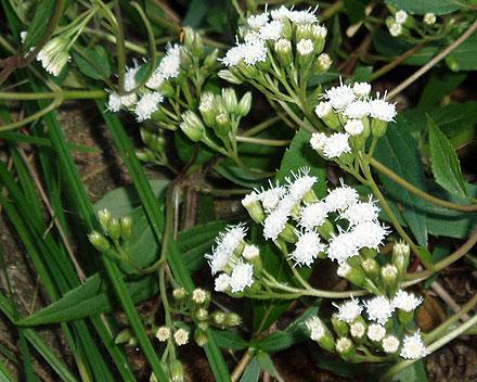 Ageratina riparia (ASTERACEAE) Mistflower, Creeping Crofton Weed