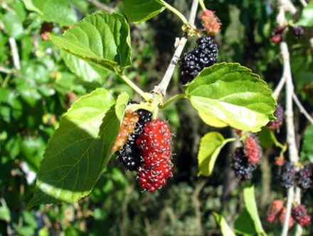 Morus alba (MORACEAE) Mulberry