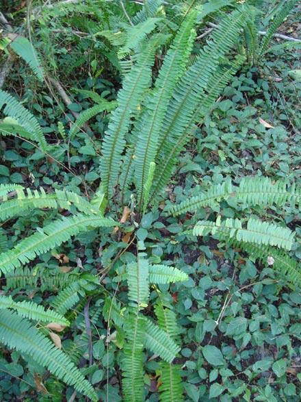 Nephrolepis cordifolia (DAVALLIACEAE) Fishbone fern
