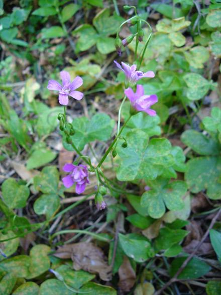 Oxalis debilis var. corymbosa (OXALIDACEAE) Pink shamrock, lilac oxalis