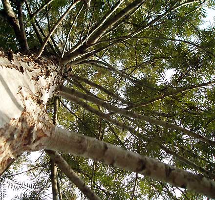 Grevillea robusta (PROTEACEA) Silky Oak