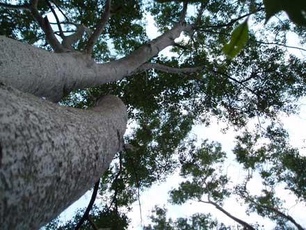 Olea paniculata (OLEACEAE) Native Olive, Maulwood
