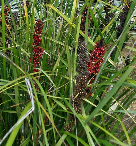 Gahnia sieberiana (CYPERACEAE) Red-fruited Saw-sedge