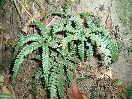 Adiantum hispidulum (ADIANTACEAE) Rough Maidenhair Fern