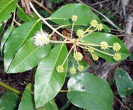 Choricarpia leptopetala (MYRTACEAE) Brown Myrtle