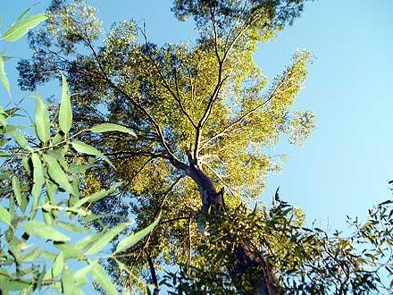 Cupaniopsis parvifolia (SAPINDACEAE) Small-leaved Tuckeroo