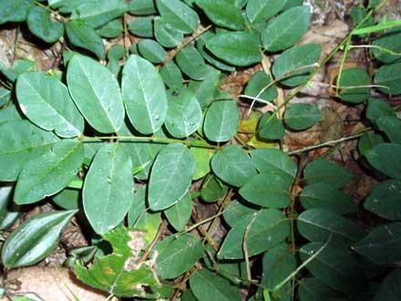 Derris involuta (FABACEAE) Native Derris, Fish Poison Vine