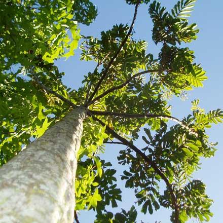 Diploglottis australis (SAPINDACEAE) Native Tamarind