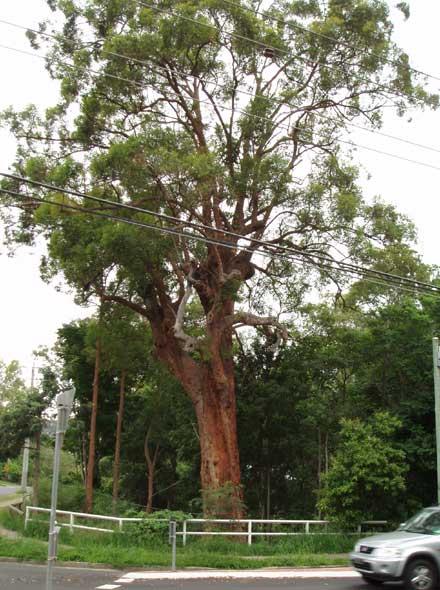 Eucalyptus microcorys (MYRTACEAE) Tallowwood