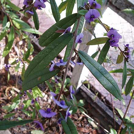 Hovea acutifolia (FABACEAE) Purple Pea Bush, Pointed-leaf Hovea