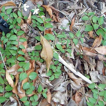 Lobelia purpurascens (LOBELIACEAE) White Root
