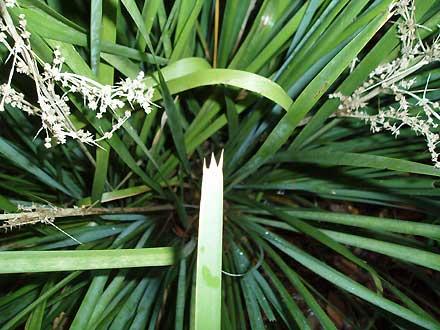 Lomandra longifolia (LOMANDRACEAE) Long-leaved Matrush, Spiny-headed Matrush