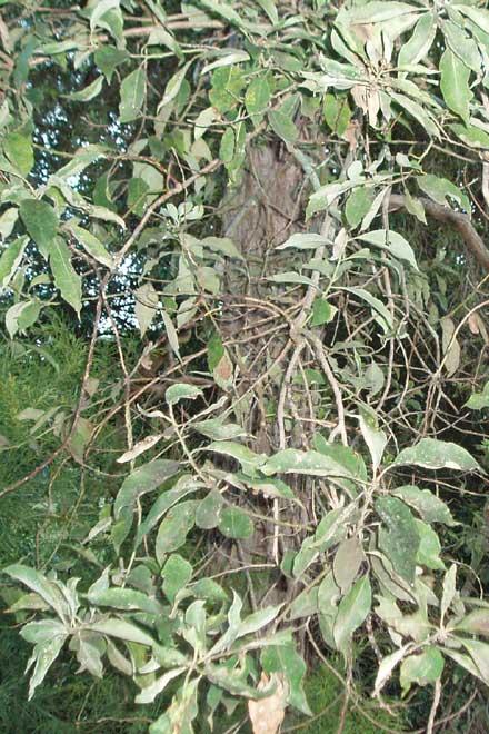 Lophostemon suaveolens (MYRTACEAE) Swamp Box