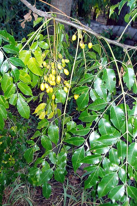 Melia azedarach (MELIACEAE) White Cedar
