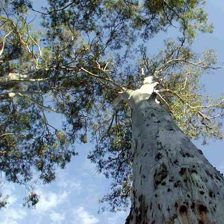 Eucalyptus tereticornis (MYRTACEAE) Queensland Blue Gum, Forest Red Gum