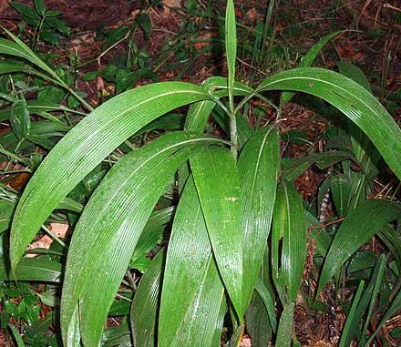 Setaria palmifolia (POACEAE) Palm Grass