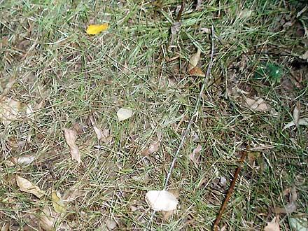 Panicum pygmaeum (POACEAE) Pygmy Panic
