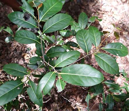 Diospyros fasciculosa (EBENACEAE) Grey Ebony