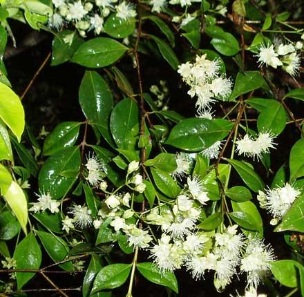 Backhousia myrtifolia (MYRTACEAE) Grey Myrtle