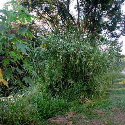 Pennisetum purpureum (POACEAE) Elephant Grass