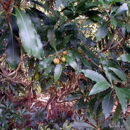 Pittosporum undulatum (PITTOSPORACEAE) Sweet pittosporum