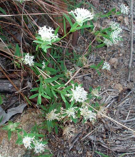 Pimelea linifolia (THYMELAEACEAE) Rice Flower