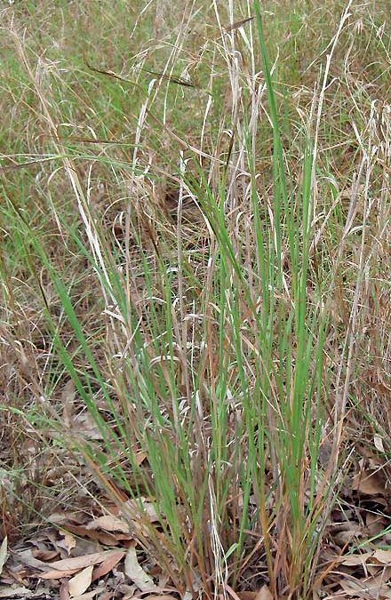 Heteropogon contortus (POACEAE) Black Speargrass, Tanglehead