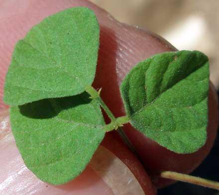 Rhynchosia minima (FABACEAE) Rhynchosia