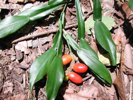 Pothos longipes (ARACEAE) Pothos