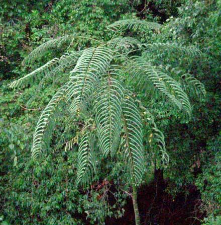 Schizolobium parahyba (CAESALPINIACEAE) Racehorse Tree, Yellow Jacaranda