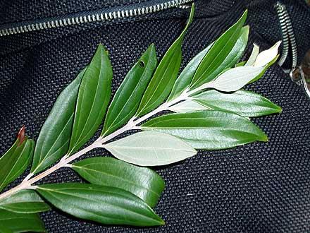 Rhodamnia argenta (MYRTACEAE) Malletwood, Silver Myrtle