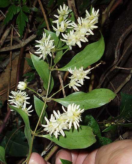 Ripogonum brevifolium (SMILACACEAE) Small-leaved supplejack