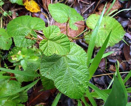 Rubus moluccanus (ROSACEAE) Molucca Raspberry