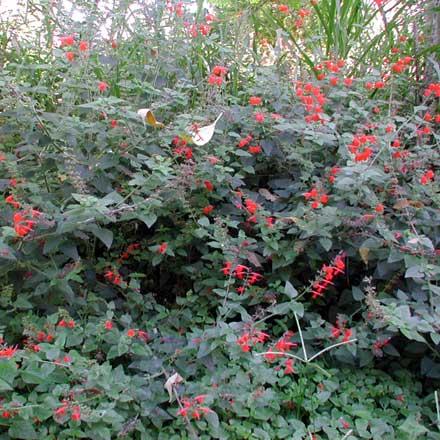 Salvia coccinea (SALVINIACEAE) Red Salvia