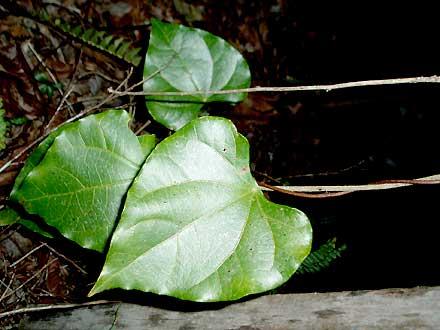 Sarcopetalum harveyanum (MENISPERMACEAE) Pearl Vine