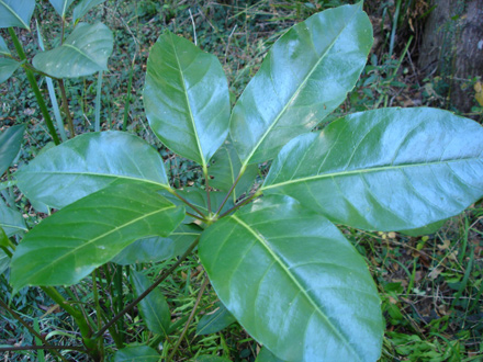 Schefflera actinophylla (ARALIACEAE) Umbrella tree