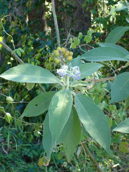 Solanum mauritianum (SOLANACEAE) Wild tobacco