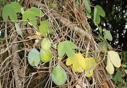 Passiflora subpeltata (PASSIFLORACEAE) White Passion Flower
