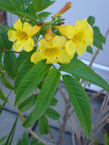Tecoma stans (BIGNONIACEAE) Tecoma, Yellow Bells
