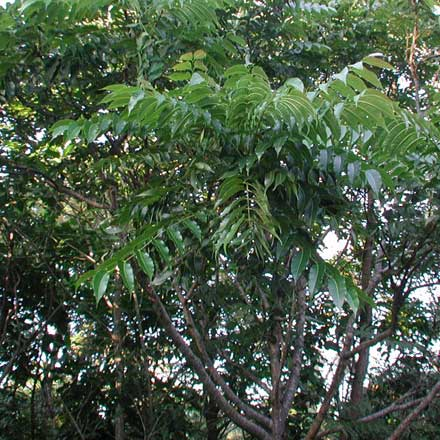 Toona ciliata (MELIACEAE) Red Cedar