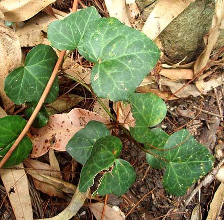 Hedera helix (ARALIACEAE) English Ivy