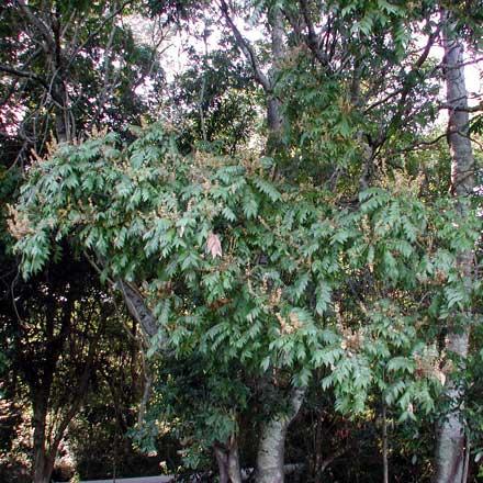Jagera pseudorhus (SAPINDACEAE) Foam bark