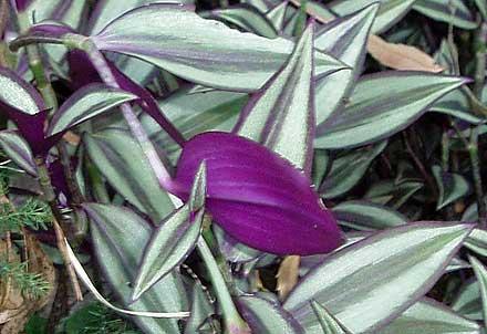 Tradescantia zebrina (COMMELINACEAE) Zebrina, Inch Plant