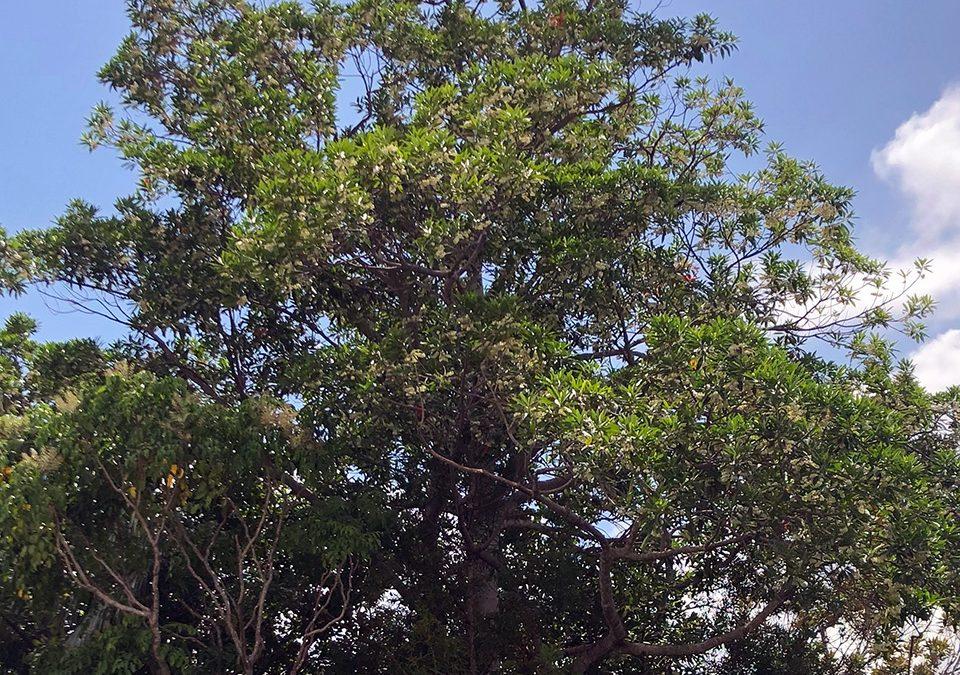 Elaeocarpus grandis (ELAEOCARPACEAE) Blue Quandong